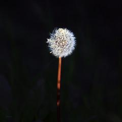 Blowing in the light (Robyn Hooz (away)) Tags: dandalion soffione dentedileone soffio blow wind vento grass erba weed padova