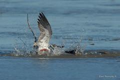 20180407-0040 (Earl Reinink) Tags: bird animal waterfowl duck earl reinink earlreinink water blue lake swimming outdoors fight fighting shoveler northernshoveler dhddidhdza