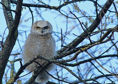 Great Horned Owlet...#12 (Guy Lichter Photography - 3.7M views Thank you) Tags: owlgreathorned canon 5d3 canada manitoba winnipeg wildlife animals birds owl owls owlet