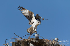Male Osprey comes in for a landing