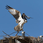 Male Osprey comes in for a landing thumbnail
