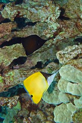 black & yellow (BarryFackler) Tags: forcipigerlongirostris biglongnosebutterflyfish lauwiliwilinukunukuoioi fish butterflyfish flongirostris rarelongnosebutterflyfish pair couple sea scuba southkona sealife seacreature sealifecamera sandwichislands saltwater seawater water westhawaii hawaii hawaiiisland hawaiicounty honaunau honaunaubay hawaiidiving hawaiianislands island bigisland bigislanddiving barryfackler barronfackler biology bay being organism ocean pacificocean pacific polynesia outdoor undersea underwater tropical reef ecology ecosystem aquatic animal diver diving dive fauna kona konadiving konacoast life marinelife marine marineecology marineecosystem marinebiology nature 2018 vertebrate creature coralreef coral zoology