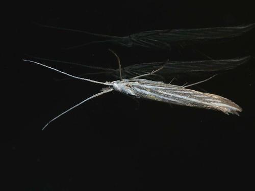 Coleophoridae sp.