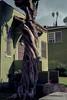 Noir trunk (ADMurr) Tags: la echo park bungalow court green tree twisted trunk palms leica m6 50mm kodak 200 ccc796edit