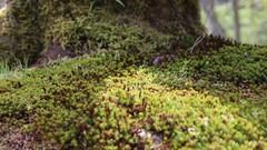 Polytrichum Juniperinum (Florentia Chuang) Tags: polytrichumjuniperinum スギゴケ juniperhaircap juniperpolytrichummoss canon canon6d2 6d2 canon6dmarkii lichen コケ植物 唐招提寺 nara japan 日本 奈良 関西 關西 plant plants bryophytes green 緑 みどり kansai