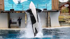 Killer adorable (Tiebell@) Tags: orca killer whale animals