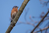 Birds (55 of 259).jpg (TheSwiftGallery) Tags: roseatespoonbill birds conodoguinet camphill us