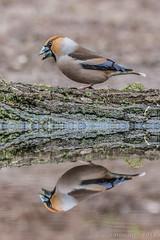 Appelvink (m)- hawfinch (m) - Coccothraustes coccothraustes (JnHkstr) Tags: 2018 appelvink vogelhut mannetje vogel hawfinch coccothraustescoccothraustes vogelhutschaijk male