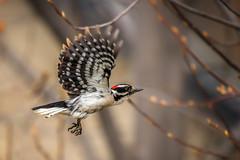 Downy Takes Flight (Neil_Wagner) Tags: downy woodpecker flying male flight