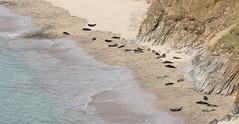 Rerwick Seals (falkirkbairn) Tags: seal rerwick shetland