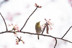 _3188228.jpg (plasticskin2001) Tags: mejiro sakura bird flower