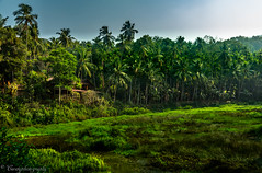 _02A0656 (cursty1) Tags: goa india asia plantation nature naturephotography landscape landscapephotography travel travelphotography wanderlust canon canonphotography jungle