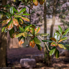 Green Leaves (JuanJ) Tags: nikon d850 lightroom art bokeh nature lens light landscape white green red black pink sky people portrait location architecture building city iphone iphoneography square squareformat instagramapp shot awesome supershot beauty cute new flickr amazing photo photograph fav favorite favs picture me explore interestingness wedding party family travel friend friends vacation beach leaves tree lexingtoncemetery