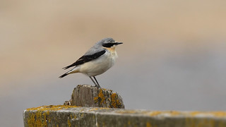 Northern wheatear ~ Oenanthe oenanthe {explored}
