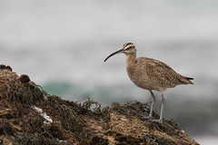 Curlew (dennis_plank_nature_photography) Tags: montereypeninsula california monterey aquarium birds curlew nature trees waves