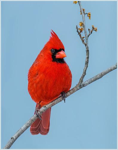 38 - Northern Cardinal on Branch