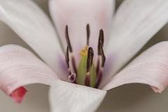 White Lily Flower (billcoo) Tags: xf80mm fujifilm tc garden bokeh xf14x fujinon 14x