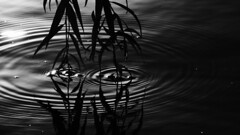018 of 365 - Close up (Weils Piuk) Tags: photoblog365 love water ripples leaves touching surface waves shadows black white bw nature bright sun closeup messy reflections