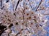 さくら sakura 広島市南区松川町 松川公園 2015年3月30日 (hiroshimaphotography) Tags: ساكورا cherryblossom sakura cerezo ساکورا 벚꽃 pokokbungasakura сакура 樱花 sakuro bloesem cerejeira սակուրա fiorediciliegio japanischekirschblüte საკურა ചെറിബ്ലോസം ချယ်ရီပန်း ซากุระ seresangnamumulaklak hoaanhđào