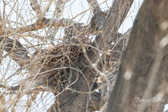 March 25, 2018 - A pair of nesting Great Horned Owls in Thornton. (Tony's Takes)