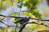 Azulejo (castellanosfenix04) Tags: bird ave azulejo tangara rama árbol fruto comiendo