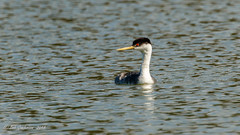 Western Grebe (Bob Gunderson) Tags: aechmophorusoccidentalis birds california grebes lakemerced northerncalifornia sanfrancisco westerngrebe