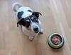 waiting (Georgie Pauwels) Tags: dog egg eating eastern food jackrussell fujifim