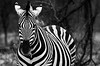 Etosha Zebra (C McCann) Tags: etosha national park namibia zebra animal outdoor black white