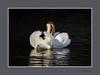 WITTE KNOBBELZWAAN  - [Cygnus olor] (FotoRoelie.nl) Tags: watervogels knobbelzwaan zwanen