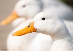 mirror image (jeff.white18) Tags: duck ducks portrait white feathers closeup nature wildlife