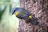 They're Following Me! (gecko47) Tags: robin easternyellowrobin eopsaltriaaustralis sandycamprdwetland wynnum lytton brisbane treetrunk
