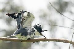 DSC_1074.jpg Belted Kingfisher, Schwan Lake (ldjaffe) Tags: schwanlake twinlakes beltedkingfisher