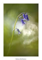 Flares et clochettes ... (bertholino fabrice) Tags: fabricebertholino jacinthedebois fleur flowers sigma105macrooshsm nikond600 proxy macrophotoghie nature bretagne sousbois photodenature flares bokeh vert bleu capturenx2 nikon fullframe
