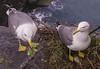 nest (Paolo Dell'Angelo (JourneyToItaly)) Tags: gabbiani liguria italia nido genitori uovo portovenere laspezia nest seagulls sea