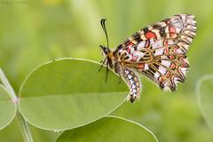 Arlequín (sergio estevez) Tags: arlequín bokeh color campodegibraltar hierba insecto luz macro micro mariposa naturaleza rojo tamronsp90mmf28 sergioestevez