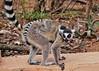 Ring-tailed Lemur (Lemur catta) and Baby (Susan Roehl) Tags: madagascar2017 islandofmadagascar offtheeastcoastofafrica berentyreserve ringtailedlemur youngster lemurcatta female animal mammal criticallyendangered largelemur strepsirrhineprimate lemuridaefamily endemic galleryforests sponyscrub southernregion maki omnivore mostterrestrial diurnal highlysocial femaledominant sunbathe goodsenseofsmell scentmarking mostvocal 2000individuals habitatloss hunting poaching bushmeat sueroehl photographictours naturalexposures panasonic lumixdmcgh4 100400mmlens handheld ngc specanimal coth5