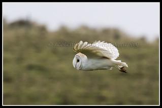 IMG_0097 Barn Owl