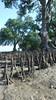 Perepat (Sonneratia alba) (wildsingapore) Tags: mangroves sonneratia alba tree plant pulau semakau south island singapore marine coastal intertidal shore seashore marinelife nature wildlife underwater wildsingapore