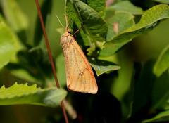 Aasakaruslane   (Diacrisia sannio). Emane. Female.  Karhusiilikäs. (Imbi Vahuri) Tags: imbivahuri insecta putukad lepidoptera liblikad arctiidae karuslased diacrisia aasakaruslane