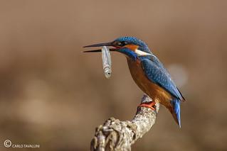 Martin pescatore - Alcedo atthis