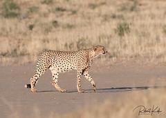 Cheetah on the move! (Jambo53 (!)) Tags: cheetah jachtluipaard kgalagaditransfrontierpark ktp southafrica zuidafrika nikond500 500mmf4 dunes duinen stalking