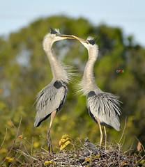 Great Blue Heron (eros3714) Tags: birds nikon naturephotography nikond4 greatblueheron herons outdoors