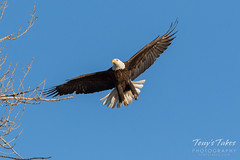 Female Bald Eagle returns to the nest - 5 of 29