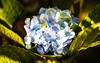 Blue Hydrangea (wyojones) Tags: hawaii volcano hydrangea flowers blooms plants bigisland pōpōhau snowball hydrangeamacrophylla colors blue