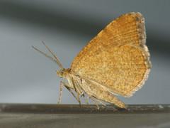 Macaria brunneata - Rannoch looper - Кустовая пяденица красноватая