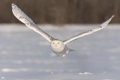 ''LA JOURNÉE DU VERDICT!'' Harfang des neiges-Snowy owl (pascaleforest) Tags: oiseau bird animal passion nature nikon snow neige wild widlife faune québec canada owl hibou winter hiver light lumière