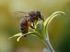 Gagea lutea (apemarco) Tags: bee pollen gagea lumixgx80