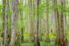Spring leaves and yellow wildflowers (Monceau) Tags: trees new green leaves spring yellow wildflowers northlakenaturecenter mandeville louisiana 83365 385picturesin2018 365the2018edition 3652018 day83365 24mar18 iconic 34secluded 118picturesin2018 secluded quiet
