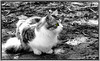 (hammer.adrienn) Tags: outdoor cute blackandwhite white black color selective kitty cat