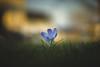 Angels (der_peste (on/off)) Tags: crocus flower bokeh dof depthoffield blur spring springtime nature macro grass meadow lawn krokus blume 50mm mitakon 50095 speedmaster